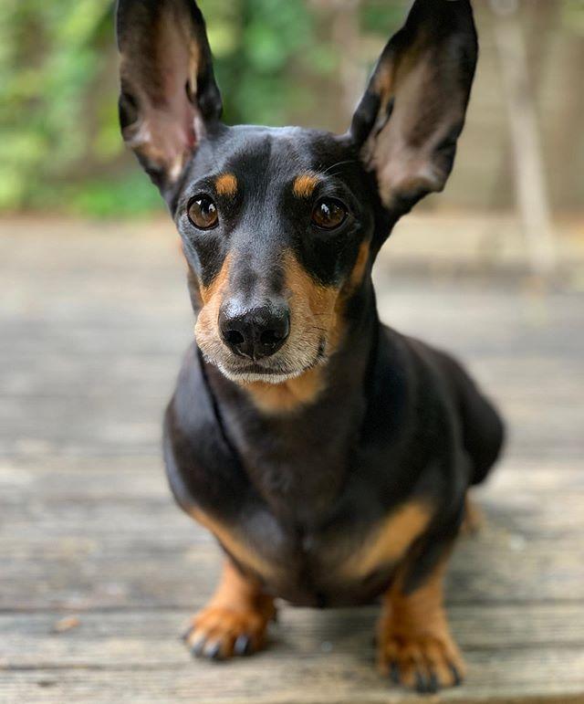 Something doesn't feel quite right here...#bigears #dachshund #weeklyfluff #wienerdog #barked #barkbox #sausagedog #bestwoof #cutepetclub #dachshundsofinstagram #cute #pupfluencer