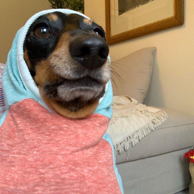 Sometimes the camera lies, I am much cuter in real life 📷 #weeklyfluff #dachshund #dogsofinstagram #barked #cutepetclub #thedodo #sausagedog