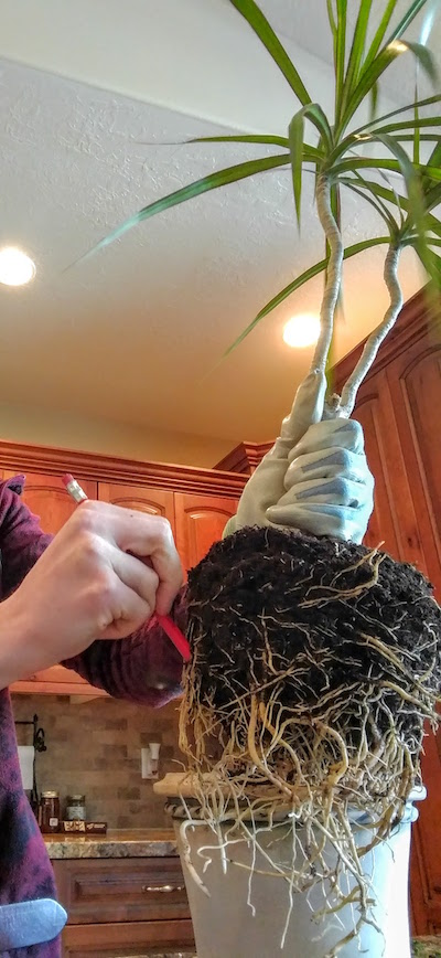 """Now take your pencil and """"comb out"""" the roots so that they are hanging down instead of wrapping around. You might break some roots in the process, and that is a-ok. Tough love is encouraged."""