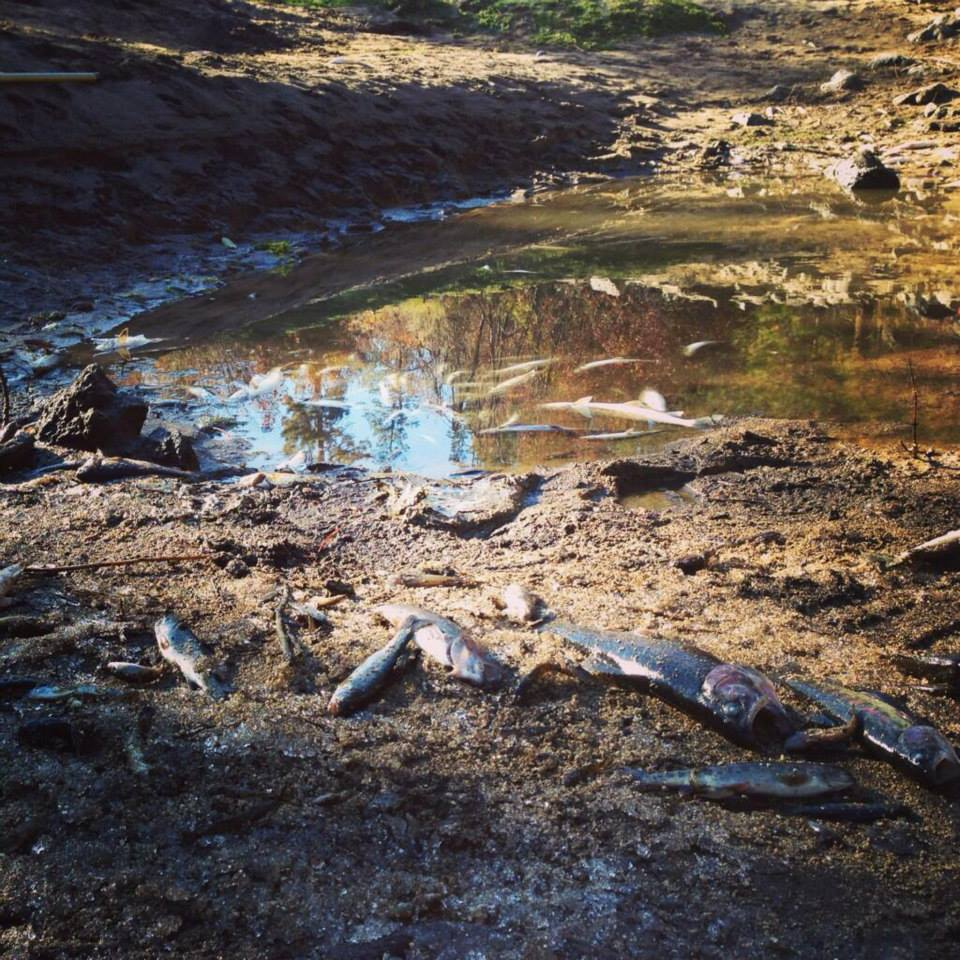 Dead and dying fish after Deschutes River drawdown from Wickiup Reservoir