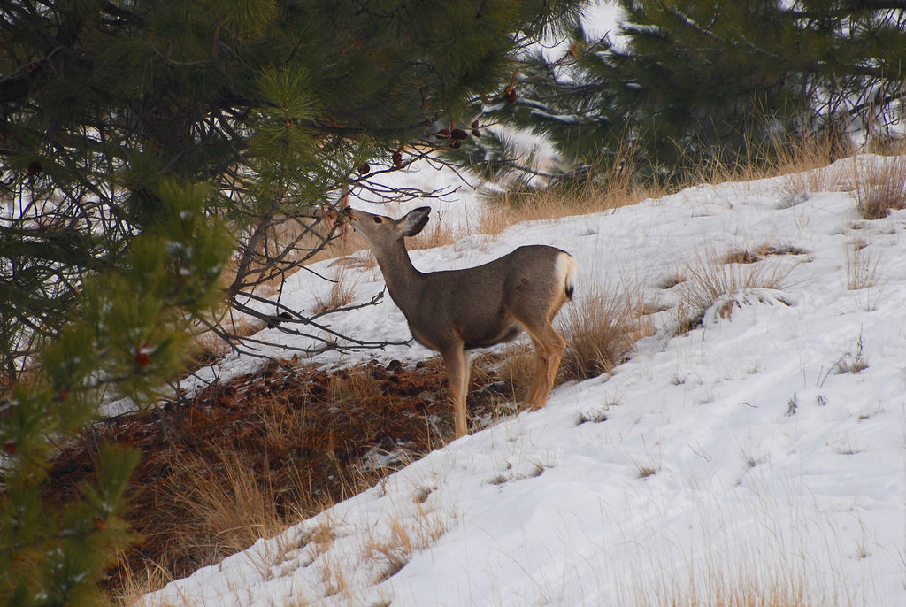 Mule deer attempt to minimize their energy expenditures in winter. Human disturbances cause stress that can require deer to unnecessary expend energy, which affects survival and reproduction. photo: montucky.wordpress.com