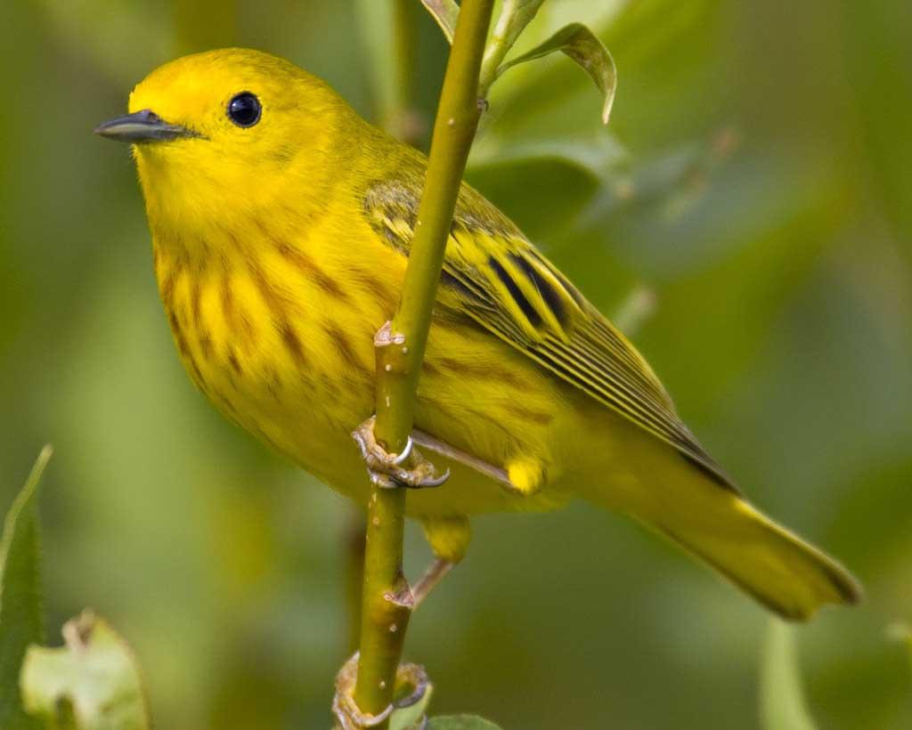 Yellow Warbler.png