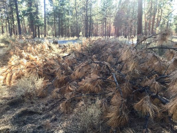 One of more than 2,000 dead ponderosa pine trees along Highway 20 near Sisters.