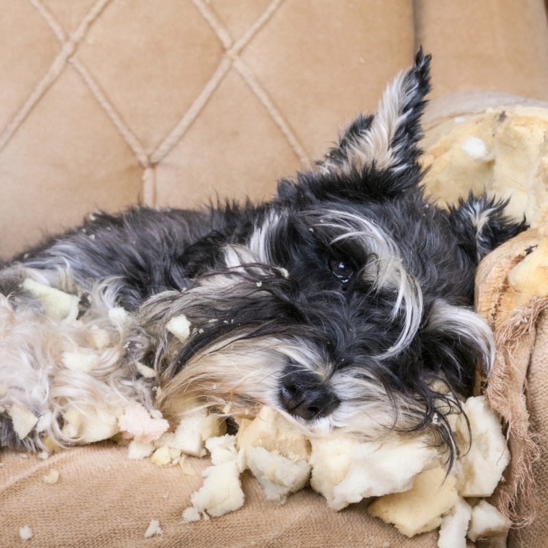 Anxiety, Fears, and Phobias in Dogs