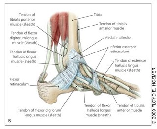 Foot And Ankle Pain From Posterior Tibial Tendon And Muscle Injury Mountain Ridge Physical Therapy