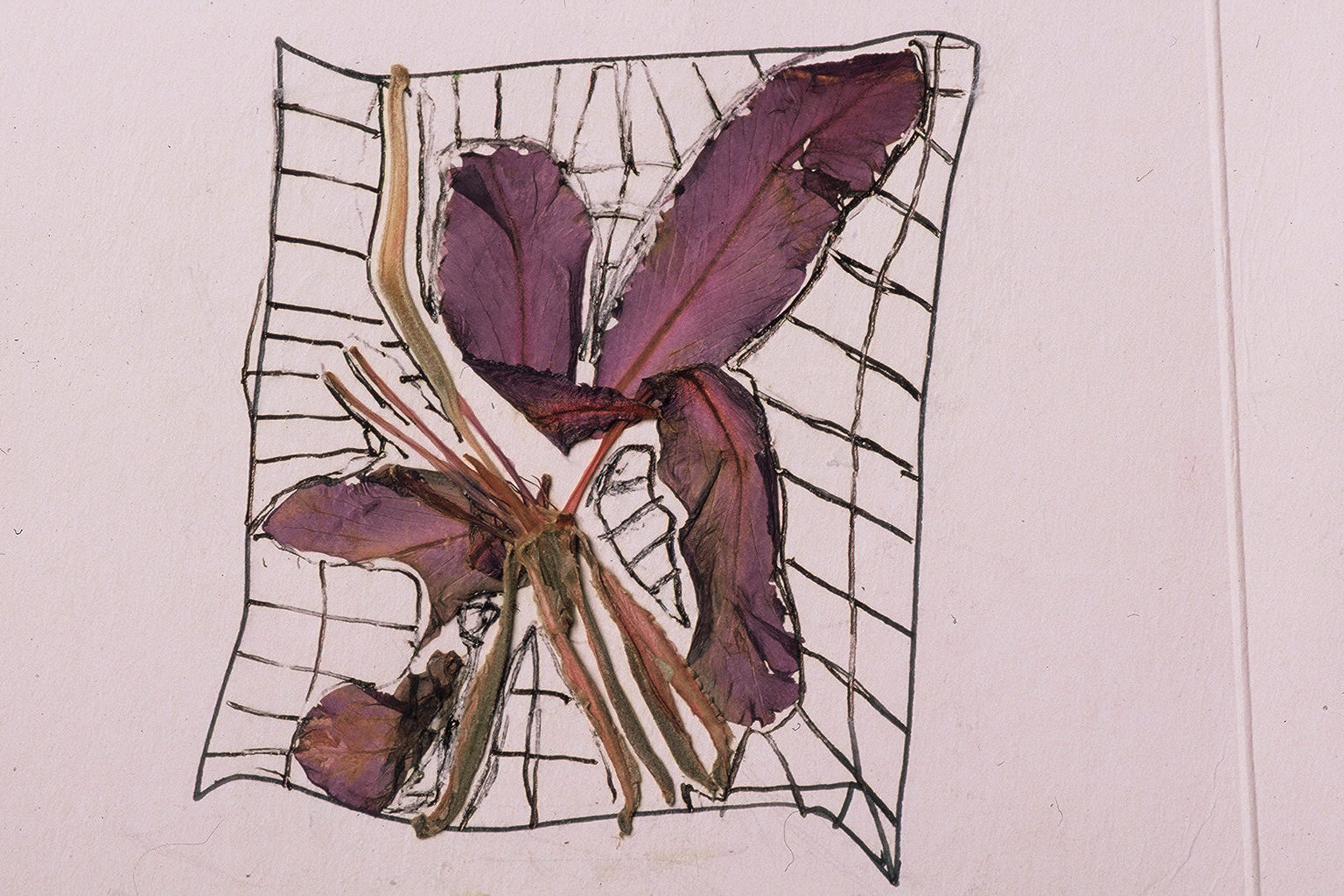 Hibiscus - Ernest Hemingway Home