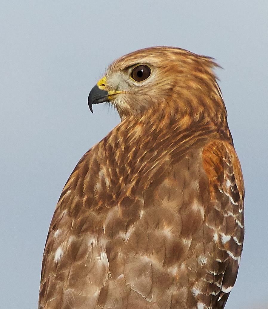 Hawk 159.jpg