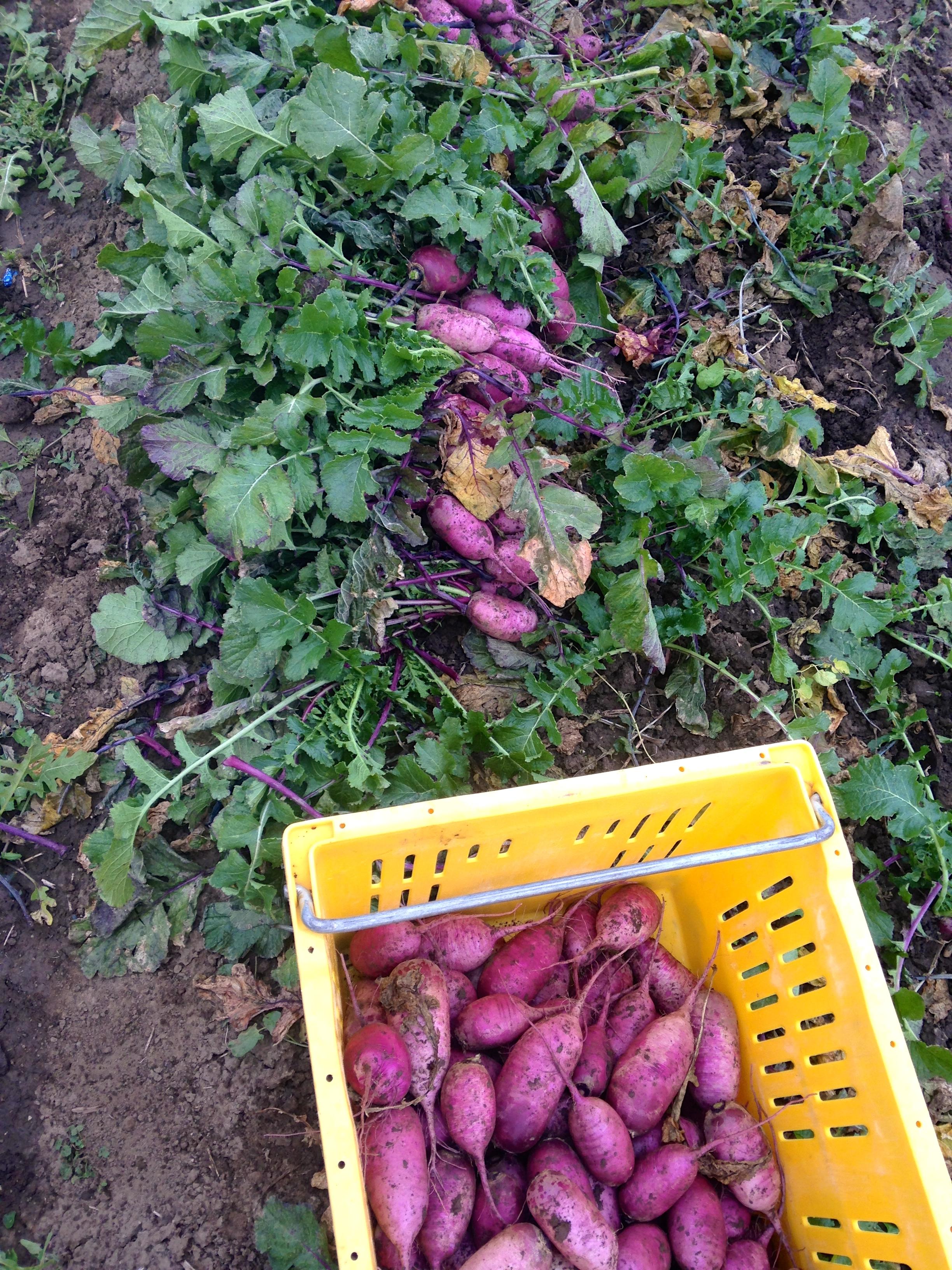 Harvesting Purple Daikon