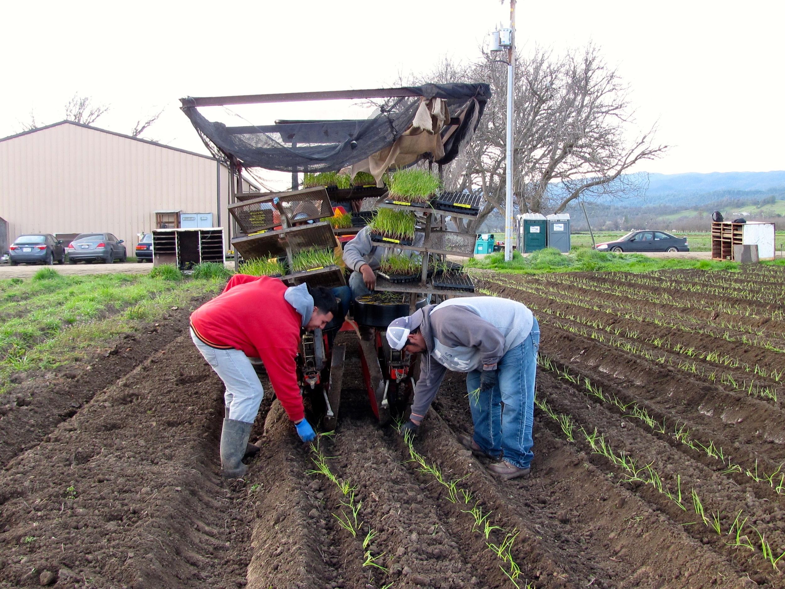 Transplanting onions