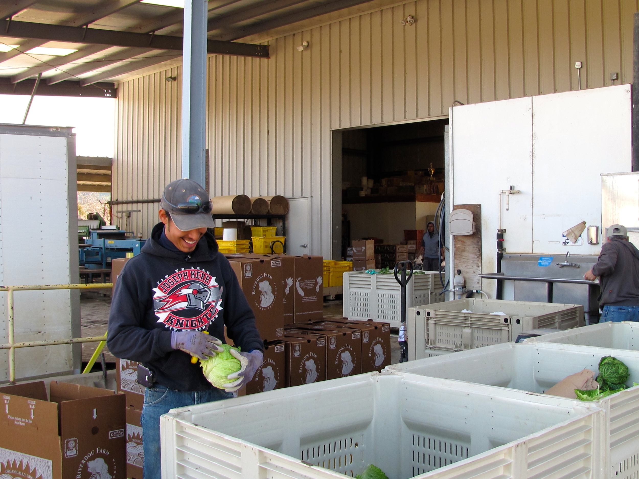 Carlos sorting through cabbages