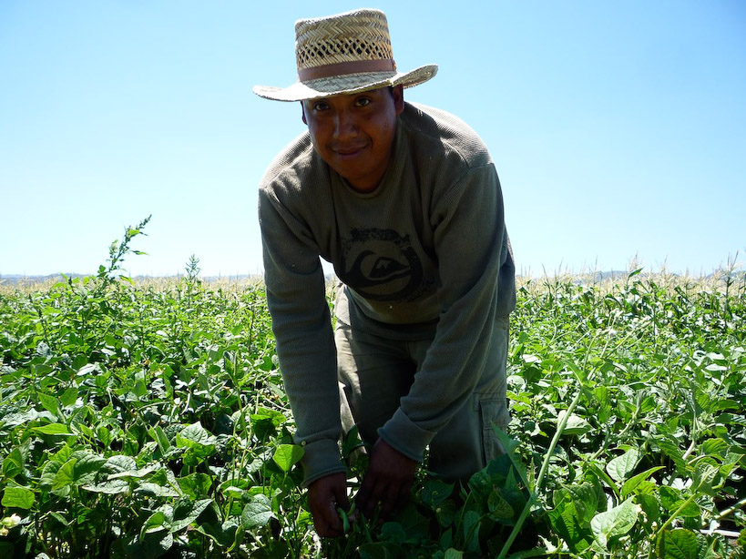 Ramon harvesting in the summer time