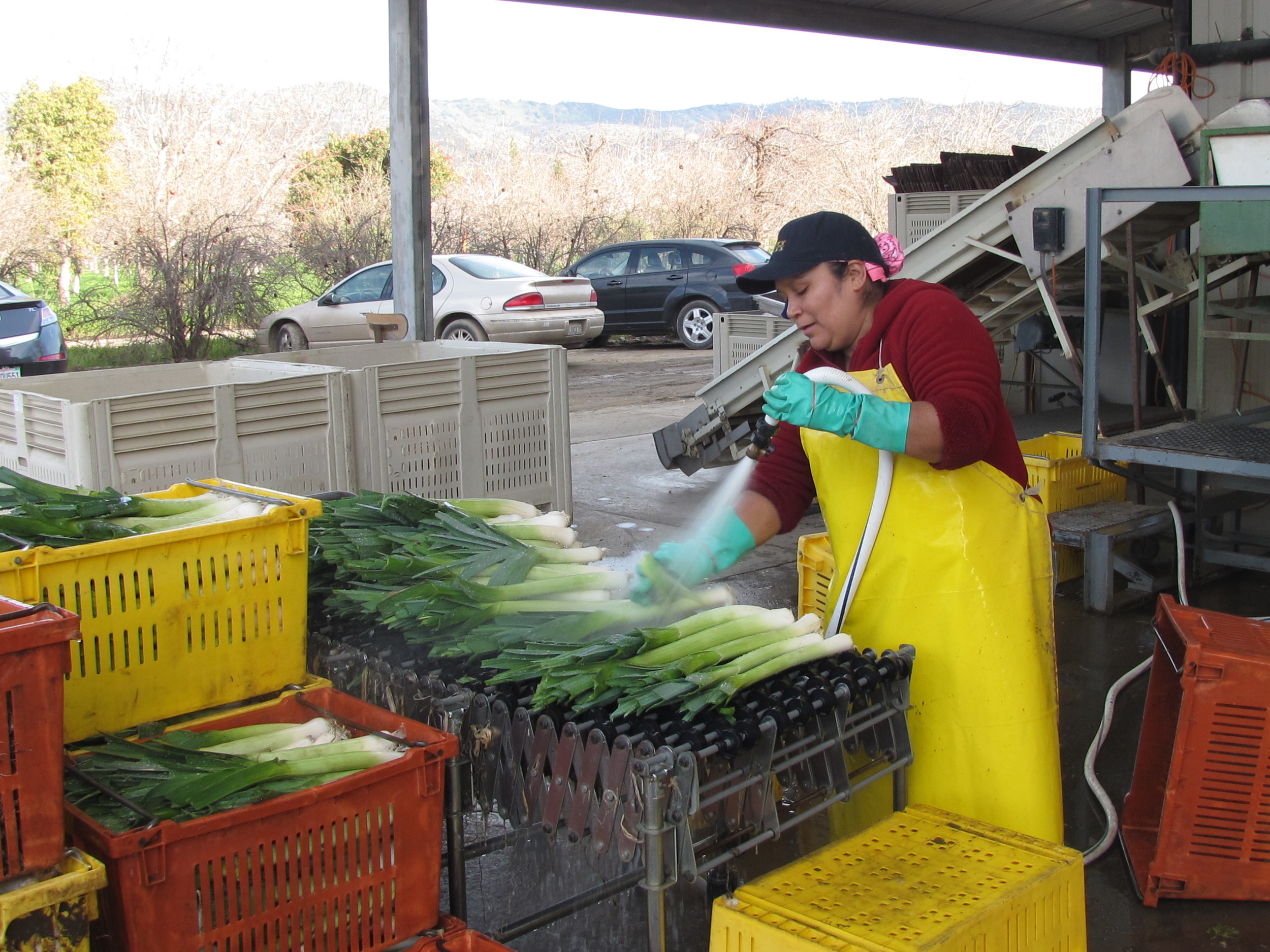 Mari preparing the leeks for packing