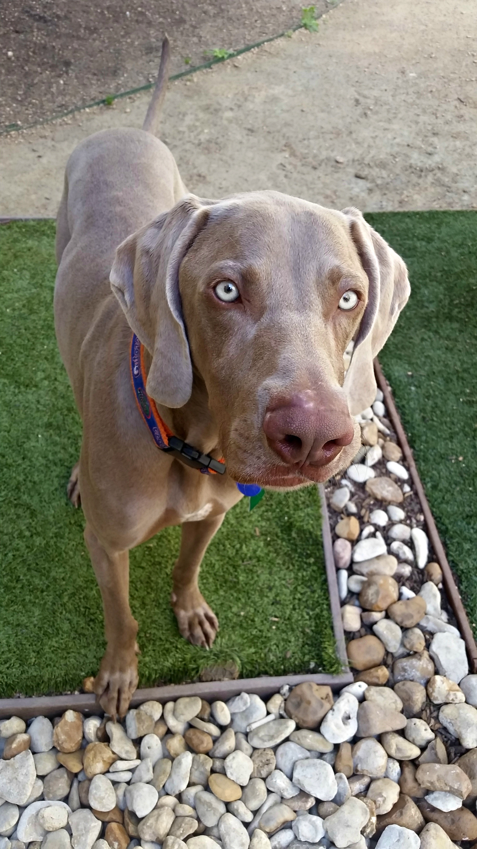 Whistler | @whistlertheweim Adopted from Weimaraner Rescue of Texas in October 2015.