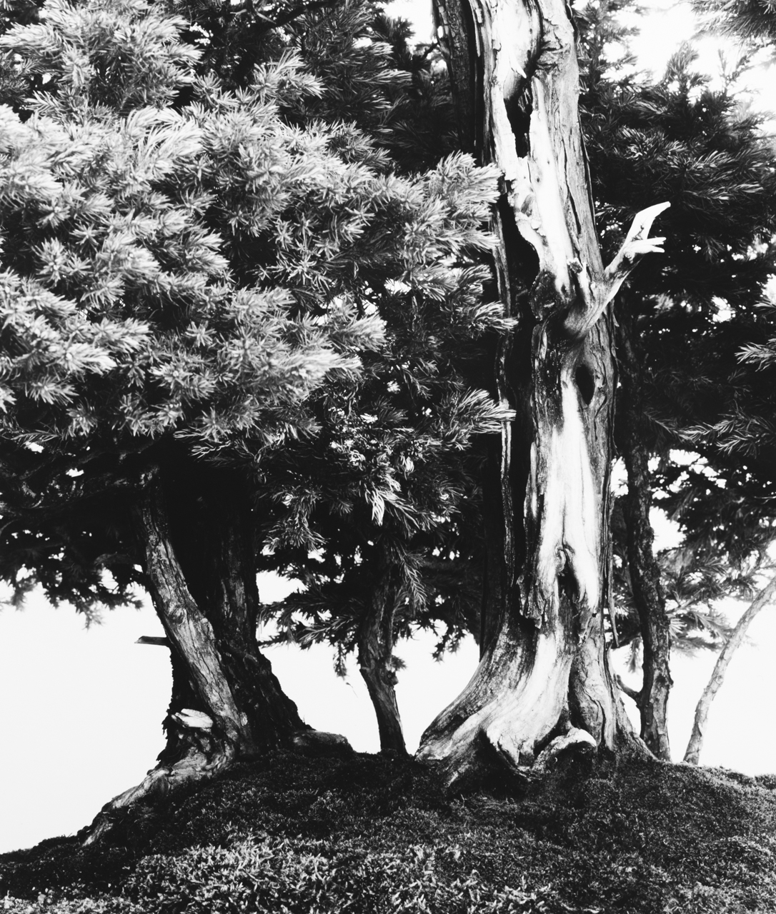 Sawara Cypress 1.jpg