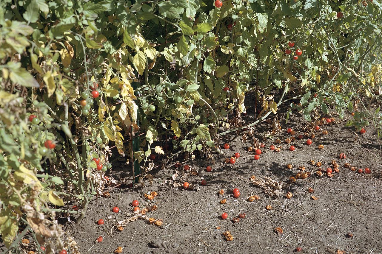 Darter_Cherry-tomatoes.jpg
