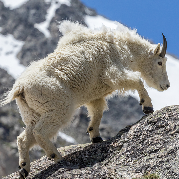 Reach new heights - Mountain Goat.png