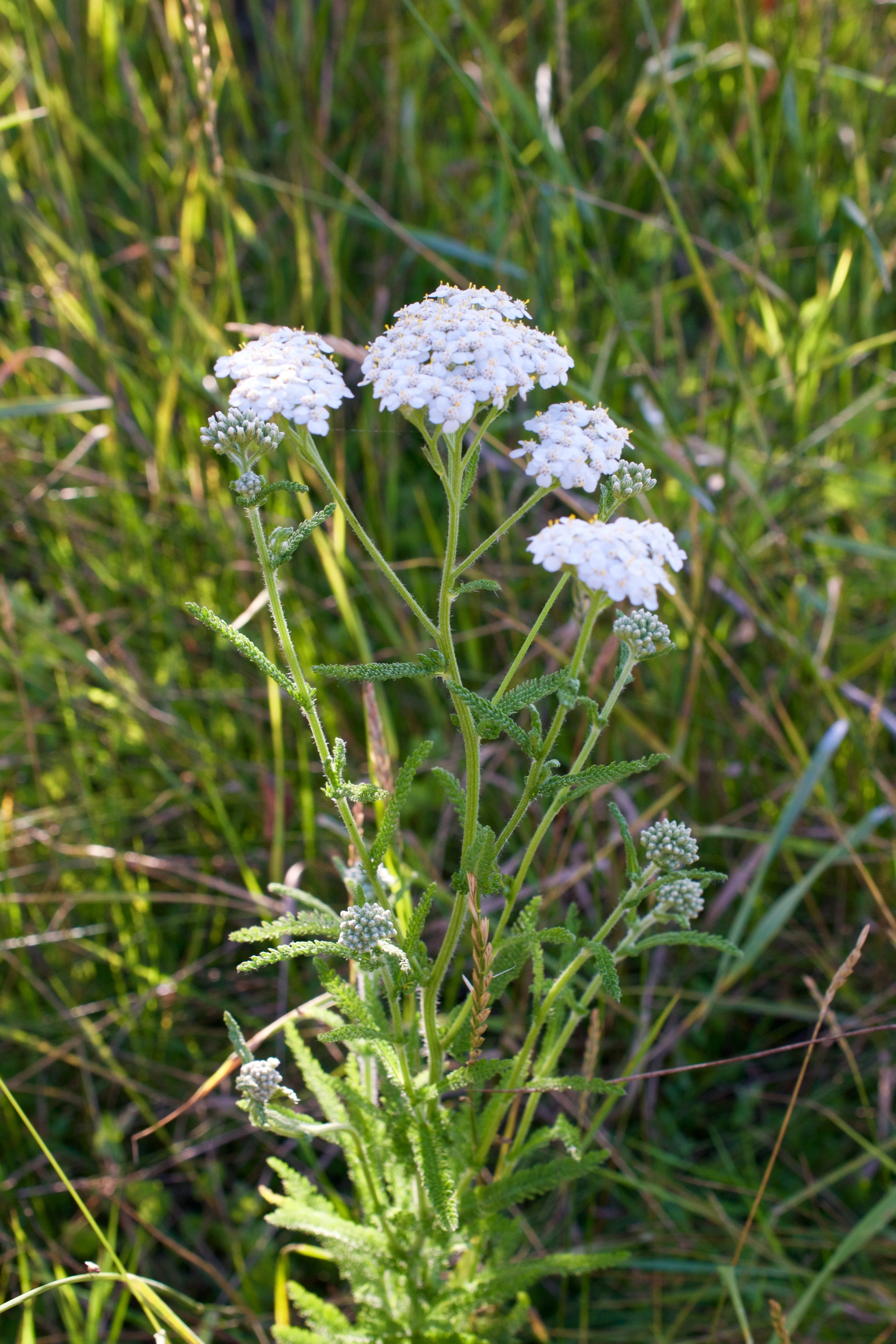 Identification of yarrow is easy, once you have been able to pick it out, it is very different from other plants.