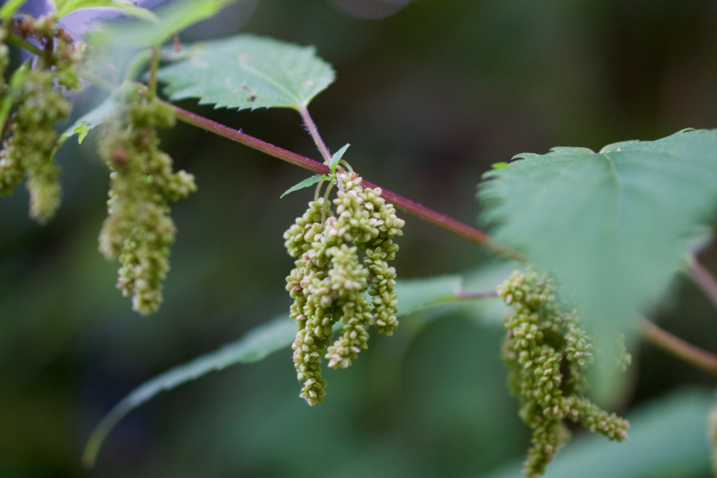 Stinging Nettle seeds in clusters develop after the plant has flowered. The seeds have their own properties and uses.