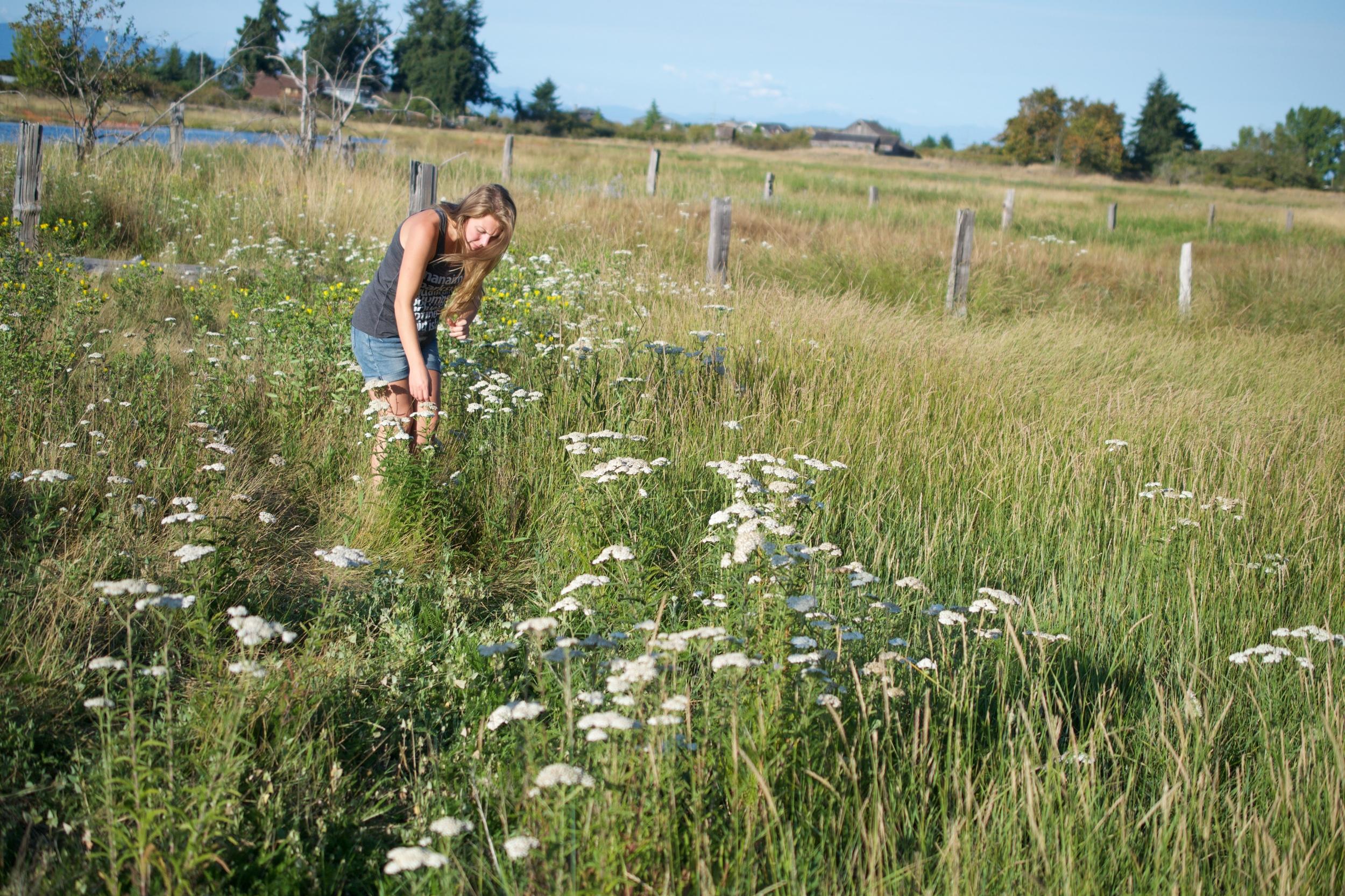 Gathering yarrow, Achillea millefolium in the later summer.