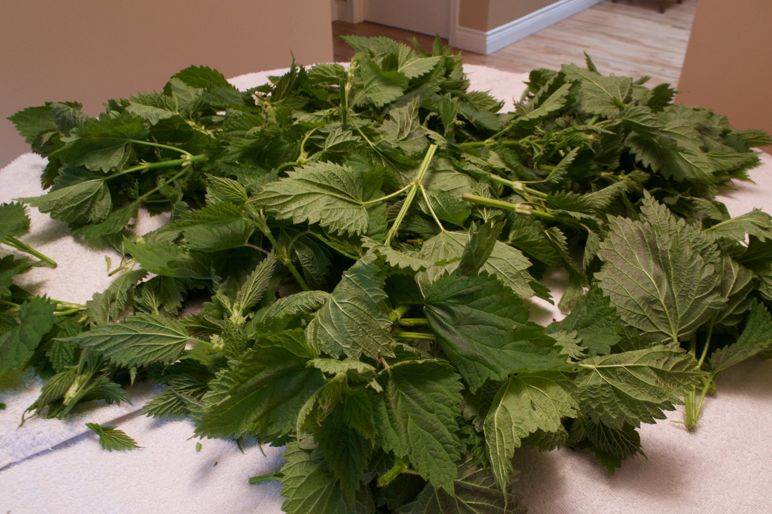 Stinging Nettle gathered in the first of spring is best to dry if you pull the leaves off the stems. But be careful!