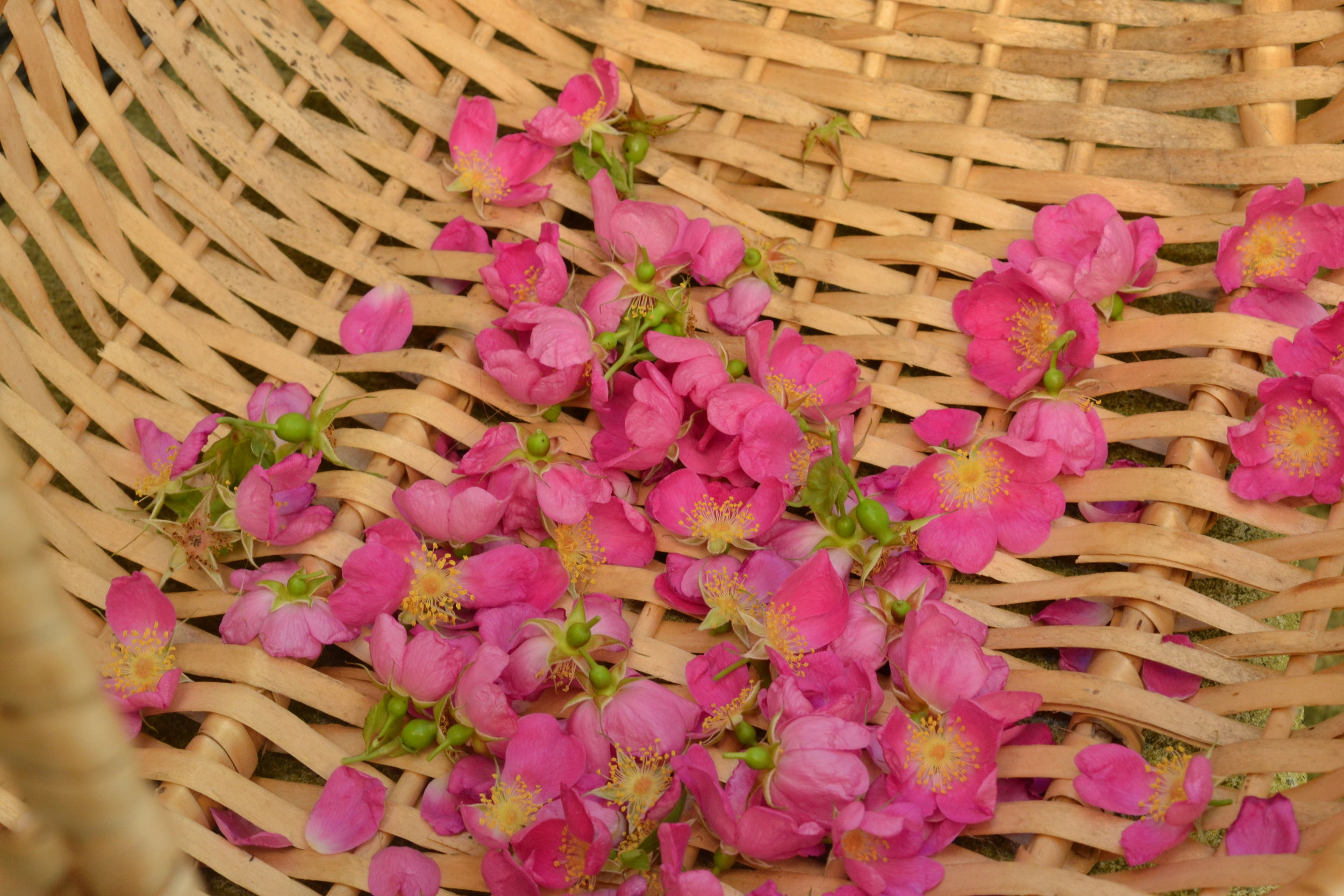 Consider the different parts of the harvested material, the petals of these wild rose flowers will dry much faster than the flower heads, so when you are checking that it is thoroughly dry, snap at the thickest part.