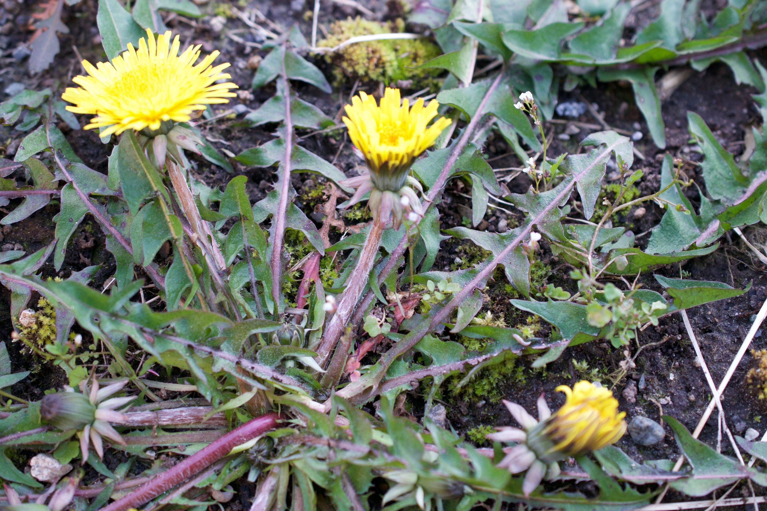 Dandelion growing in round rosette along the ground.
