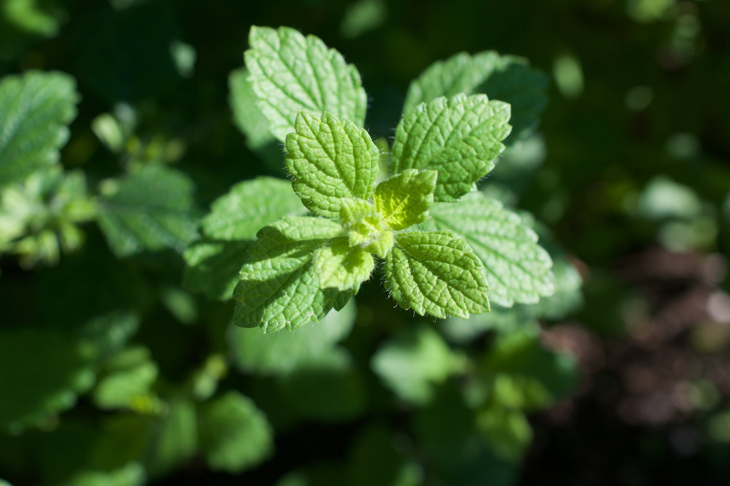 Lemon Balm leaves; veins clearly visible, opposite growth and toothed edges.