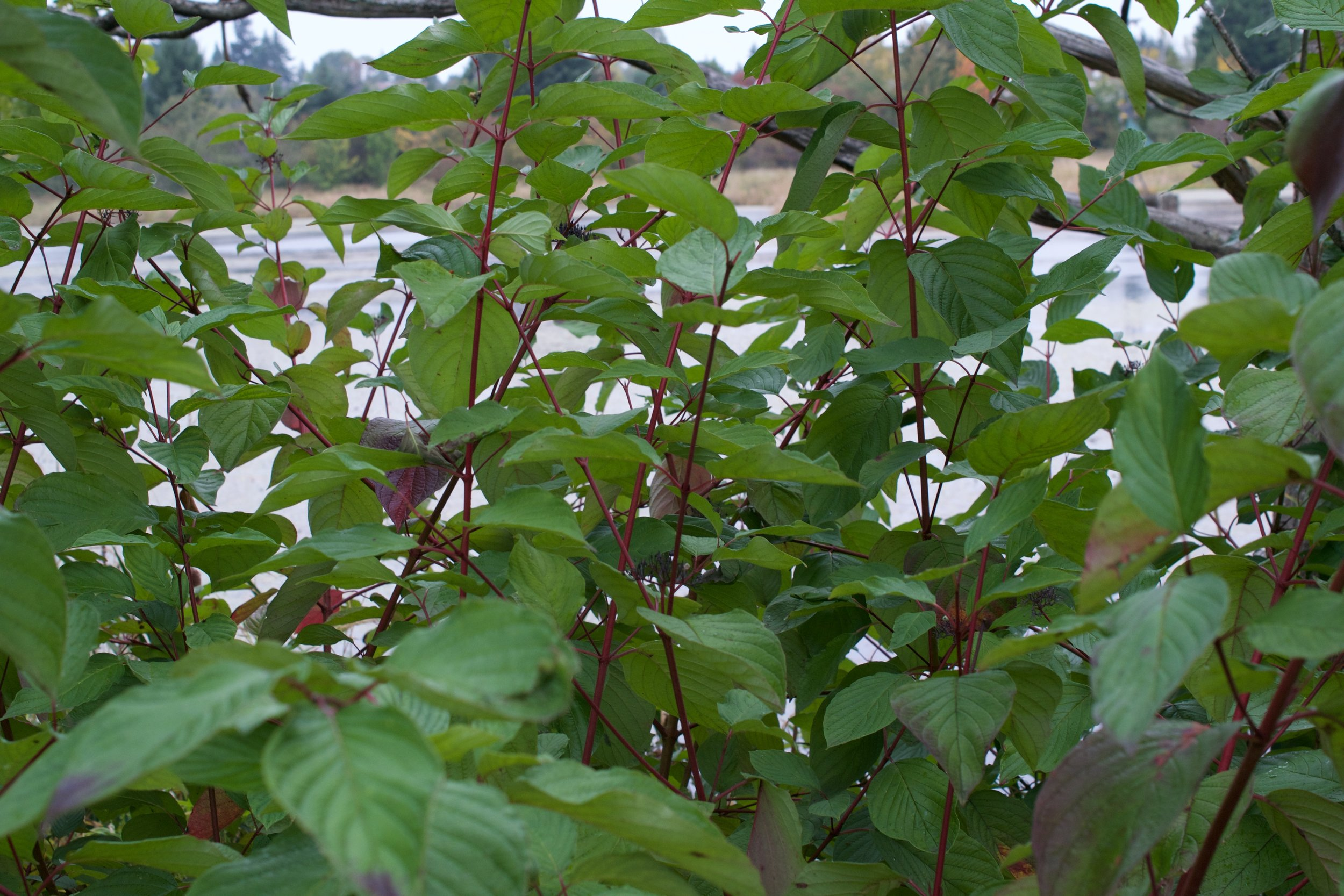 Red Osier Dogwood grows on the edges of water or moist ground and has brilliant red stems in the summer and fall.