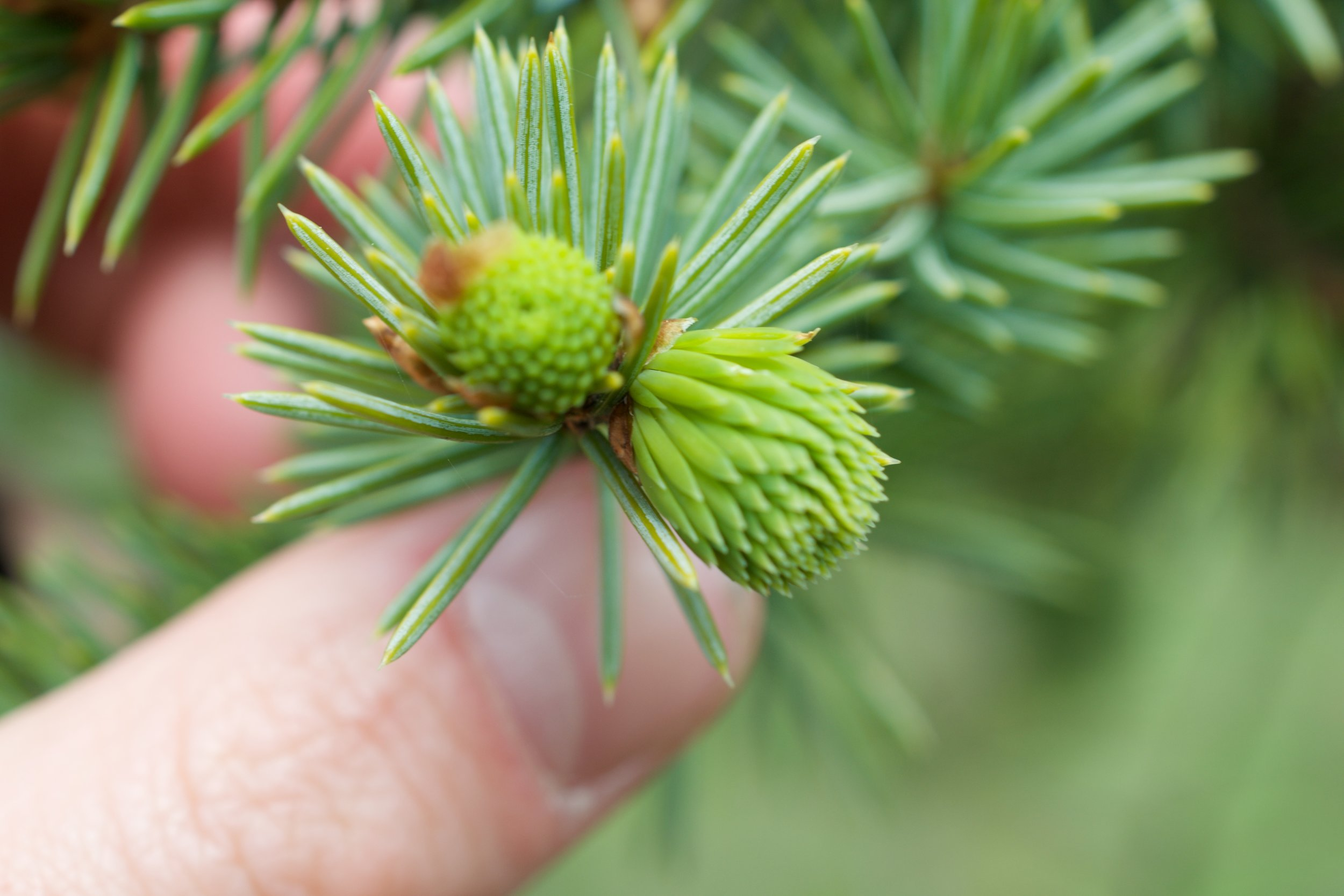 Harvesting spruce tips in the spring, remember again that this is the new growth that the tree relies on for fresh photosynthesis. Take sparingly.