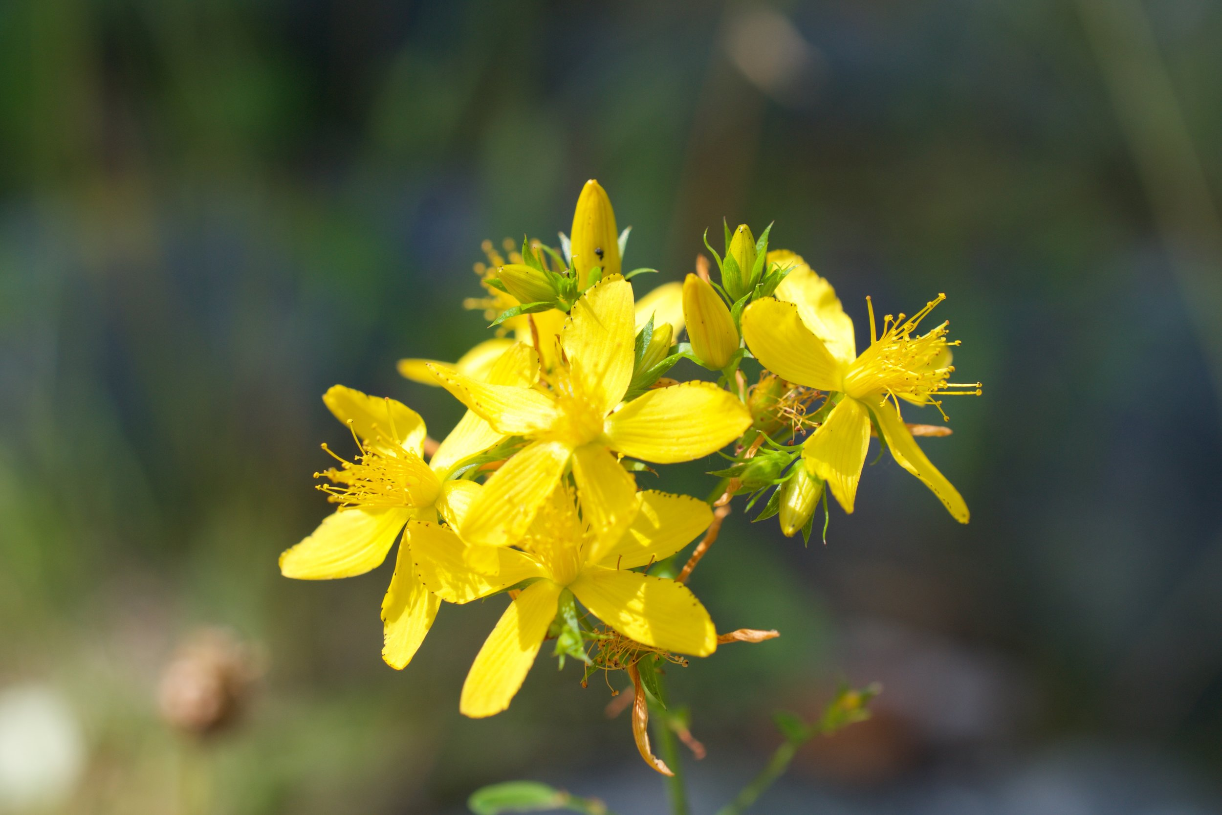 St. John's Wort has antiviral activity.