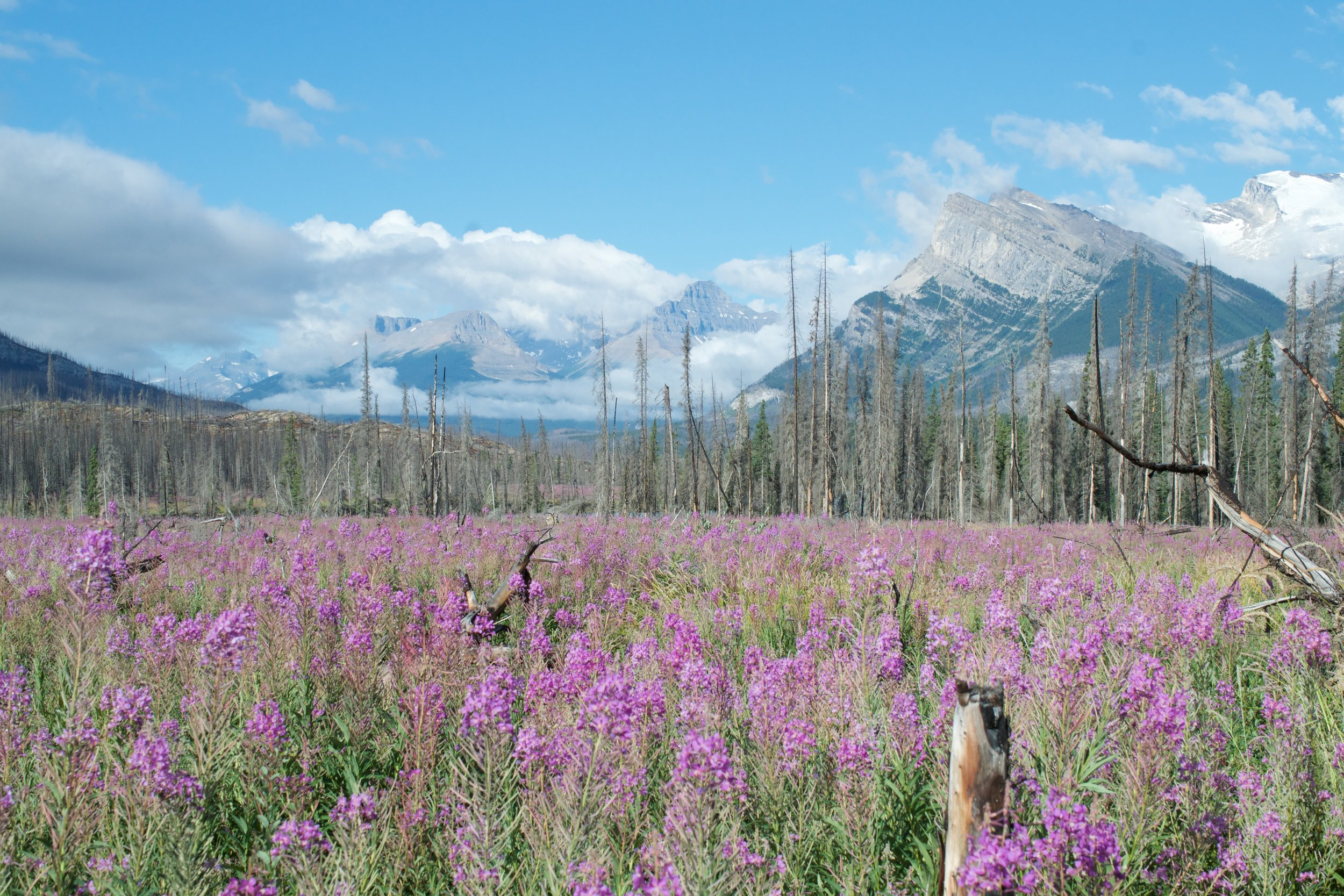 Fields of fireweed grow the year after a fire bringing beautiful rejuvenation.