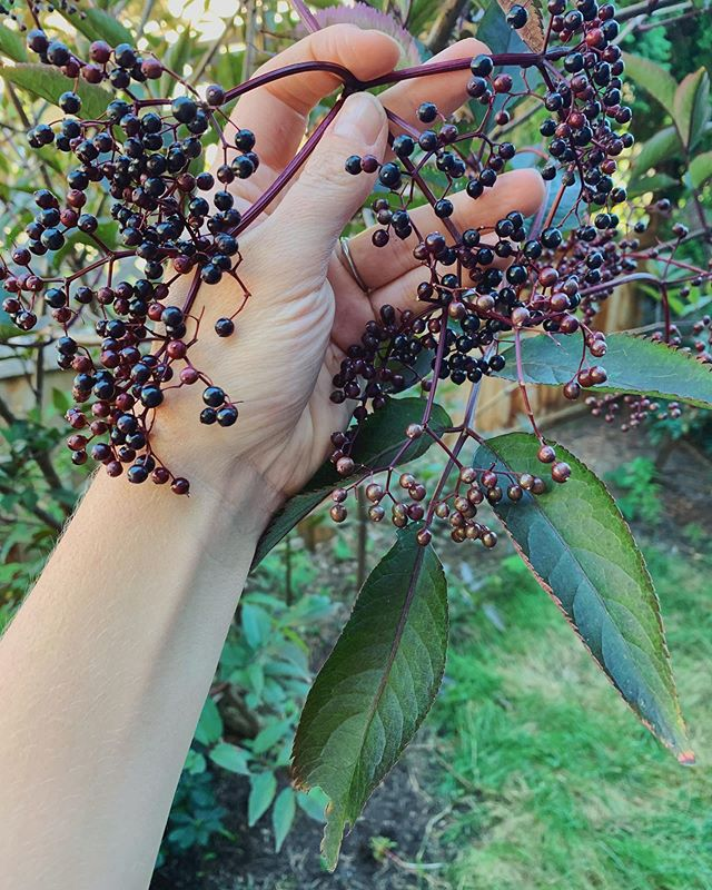 Sambucus nigra (black elderberry) makes a gentle, yet effective medicine for cold and flu season. Known for their antimicrobial, antiviral action elderberries are not only great to use when fighting off a nasty cold or flu they also taste great and are very safe to use on young children, elderly and in pregnancy. ⁣🌿 ⁣ Making a syrup to store the medicine from the fresh berries is easy! 🧚‍♀️Here's what you'll need: ⁣ ⁣ 3½ cups water⁣ 1 1/3 cups fresh or frozen elderberries⁣ 2 TBSP ginger (grated)⁣ 1 tsp cinnamon⁣ ½ tsp ground cloves⁣ 1 cup raw honey⁣ ⁣ Pour 3.5 cups water into a large saucepan and add the fresh elderberries, ginger, cinnamon, and cloves.⁣ ⁣ Bring all to a boil, then cover and reduce to a simmer for about 45 minutes to 1 hour until the liquid has reduced by almost half.⁣ ⁣ Once reduced, remove from heat and let cool until it is cool⁣ ⁣ Mash the berries carefully using a spoon or other flat utensil, you will want to stir as you mash to make sure all berries are squished⁣ ⁣ Pour the mixture through a strainer into a glass jar or bowl. Use a spatula to squish any remaining juice from your mixture through the strainer.⁣ ⁣ Compost the elderberries and let the liquid cool to lukewarm.⁣ ⁣ When it is no longer hot, add the honey and stir well. You will need to stir on and off for several minutes to let the honey fully mix into the syrup.⁣ ⁣ Once the honey is well mixed into the elderberry mixture and you have the consistency you want, pour the syrup into a mason jar or glass bottle, you can also poor into an ice cube tray to store in the freezer.⁣ ⁣ Store in the fridge or freezer and take as needed for its immune boosting properties. When people around you are sick you can up your dose to 1-2 tsp per day for an adult and half of that for a child under 10 #herbalmedicine