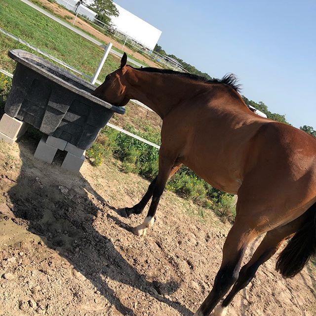 Don't forget to hydrate! #ottbsofinstagram #ottb #ottblove #ottbpride #horse #horsesofinstagram #horsesofinstagram