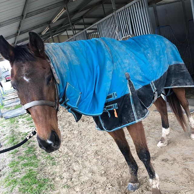 """Even though Latch's coat is in its """"fuzzy bear"""" phase, blankets are necessary even in Texas! Stay warm y'all! #ottbsofinstagram #ottblove #horsesofinstagram #ottb #horse #horseaddict #horseblanket #rescuehorsesofinstagram"""