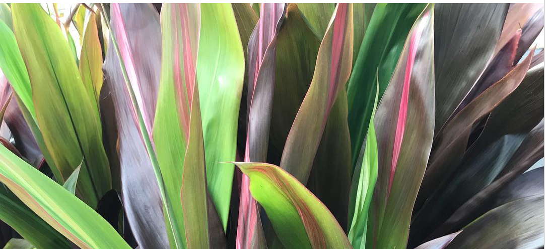 Cordyline - *Not all ePlants varieties included*