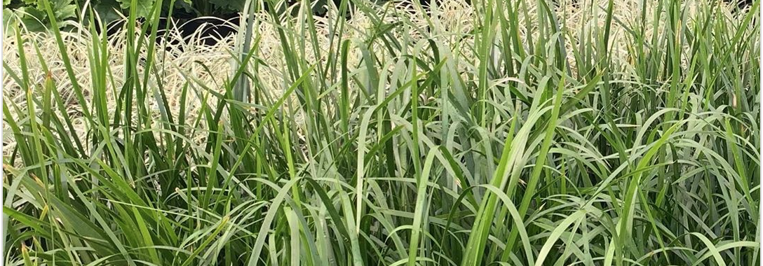 Grasses - Natives - Flowering - Low maintenance