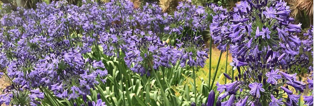 Agapanthus - Hardy - Low Maintenance - Flowering