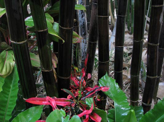 Bamboo - Fast growing - architectural screen - Stunning colours
