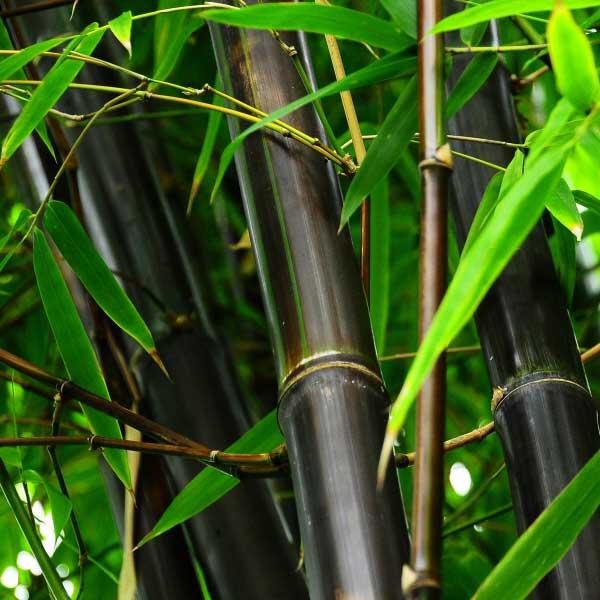 Timor Black -
