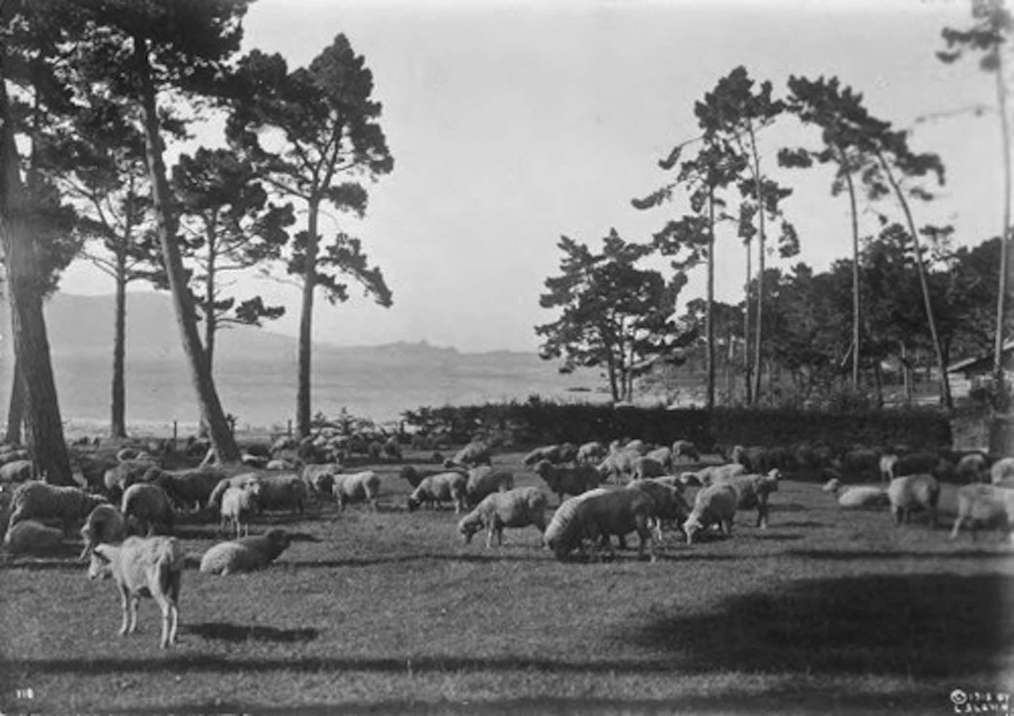 An ovine grounds crew at Pebble Beach
