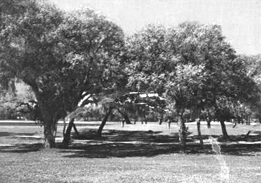 It was the oaks at Rolling Hills that made it Bushwood Country Club.