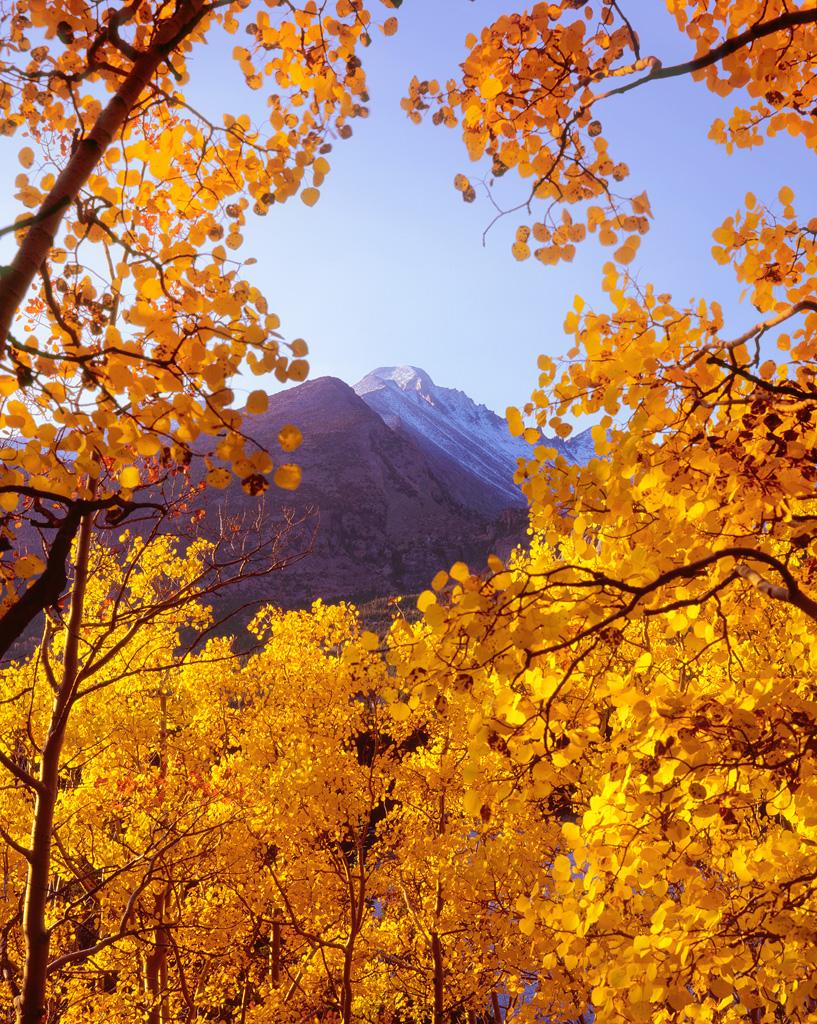 Longs Peak Aspen