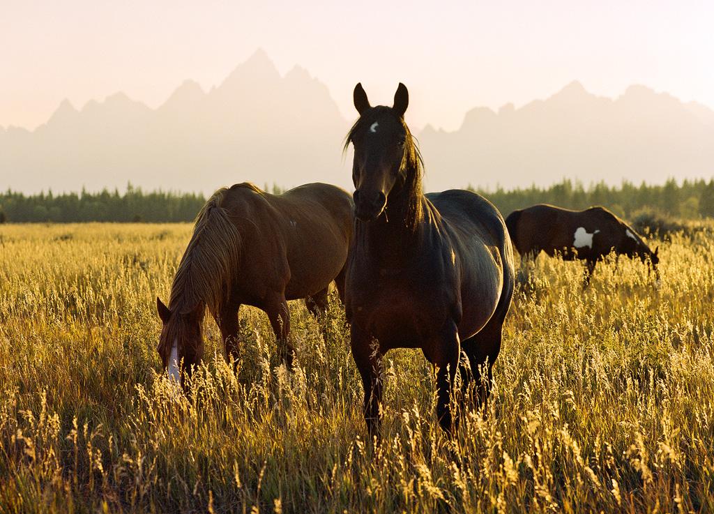 Horses and Tetons