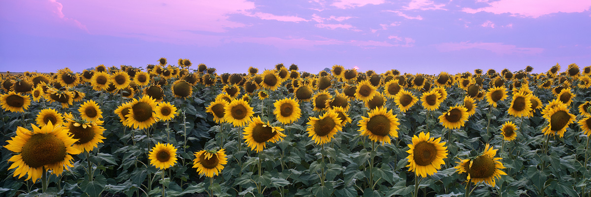 Sunflowers and Wildfire Sunset