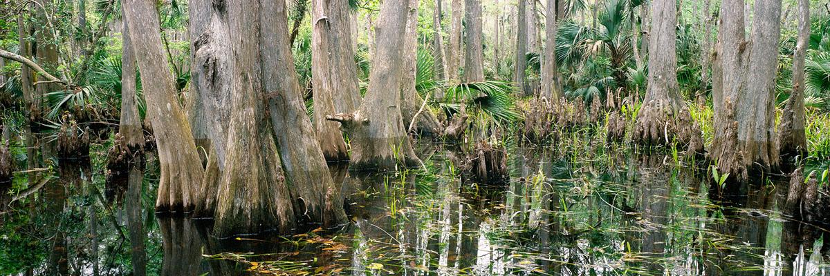 Maytown Cypress Swamp