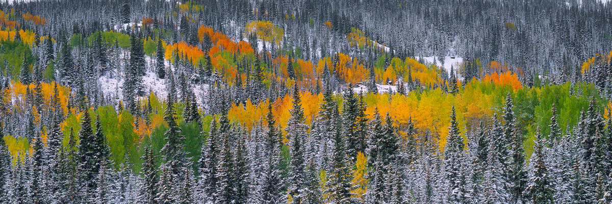 """""""Painted Forest"""" - Vibrant autumn aspen stand out against a backdrop of snow-dusted pines in the San Juan Mountains. Prints Available. Prints Available."""