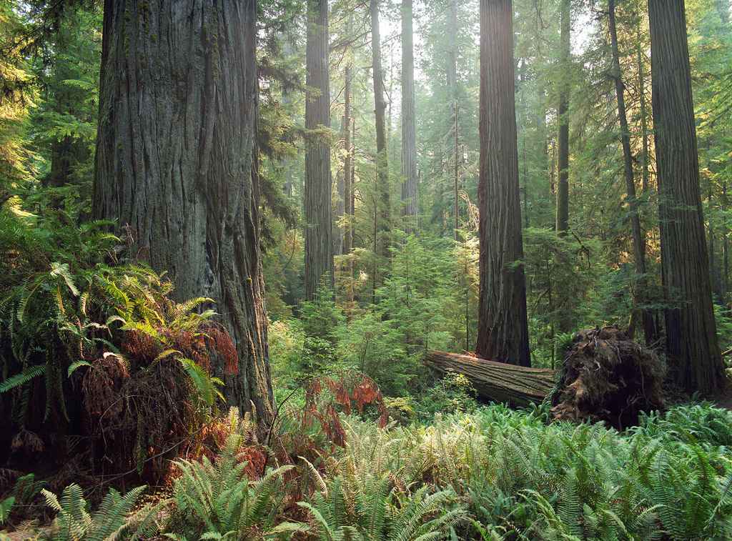 """""""Redwoods"""" - Portra 400 example. 1/60th at f8, no filters."""
