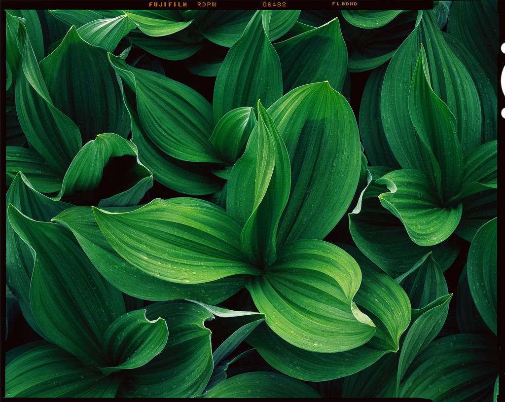 """""""Corn Lilies in the Rain"""" - A fresh image from the Tango drum scanner"""