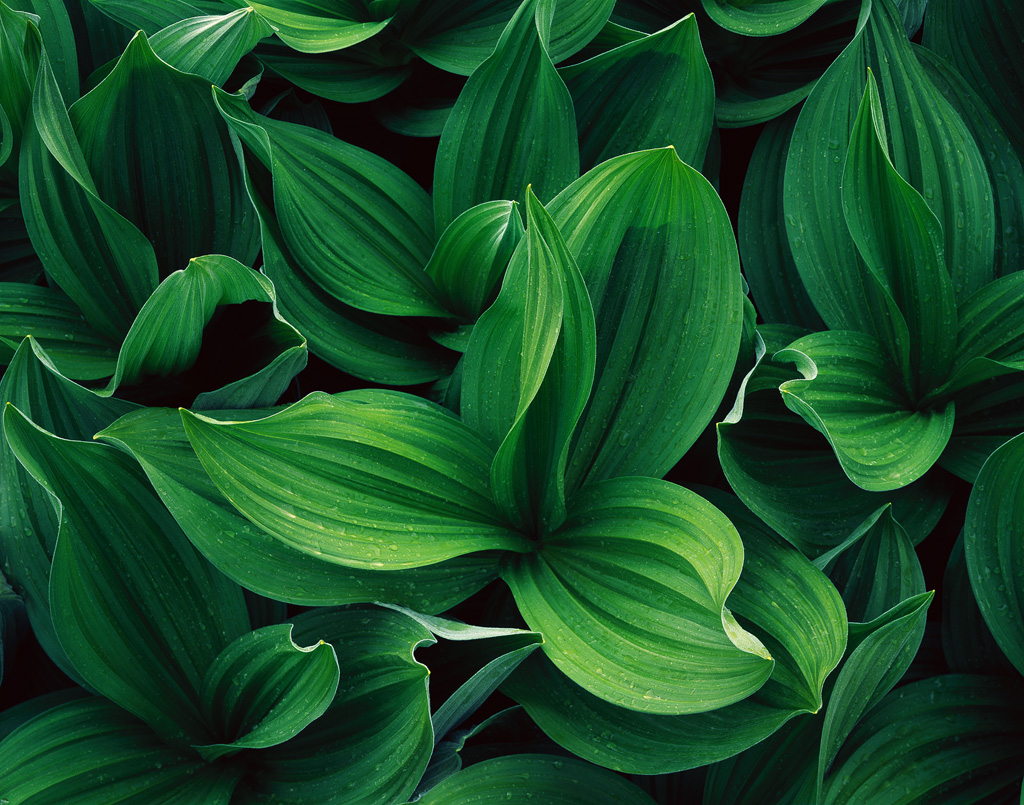 """""""Corn Lilies in the Rain"""" - Afternoon rain soaked a patch of false hellebore (also known as corn lily), revealing a world of texture, detail, and tones in the early-summer green foliage. Prints Available."""