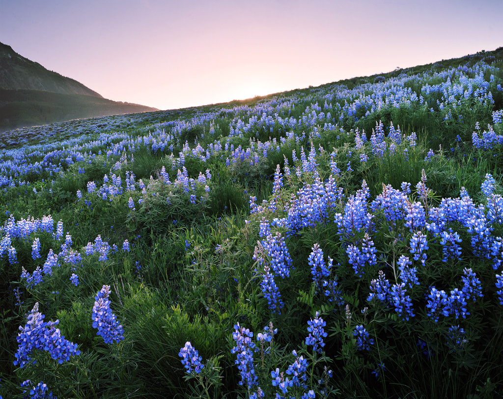 """""""Lupine Hillside"""" - Lupine grow endlessly up a hillside near Crested Butte, Colorado. The largest display of the flowers that I have ever seen by far. Prints available."""
